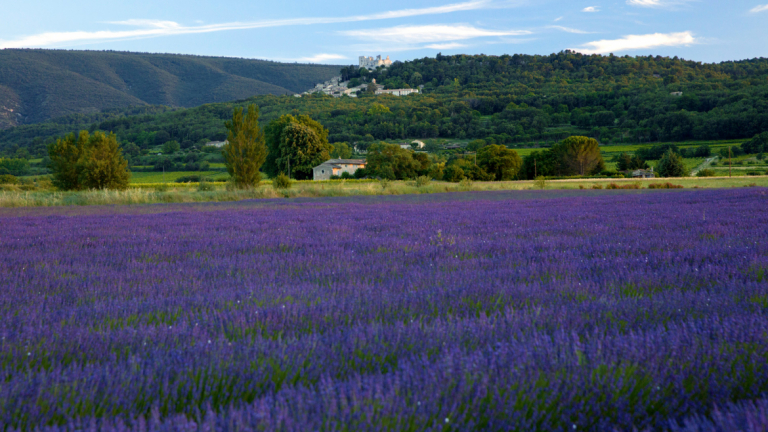 Lavender fields at SCAD Lacoste, France